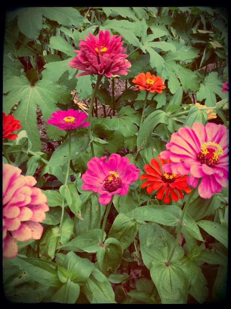 brightly colored zinnias